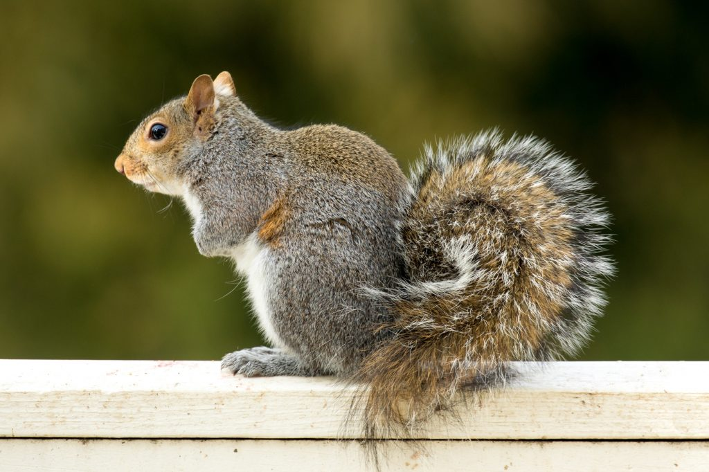 Texas Gulf Coast Squirrel Removal